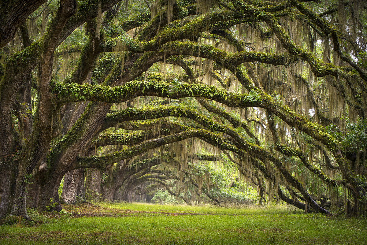 oak trees covered with spanish moss in charleston, south carolina