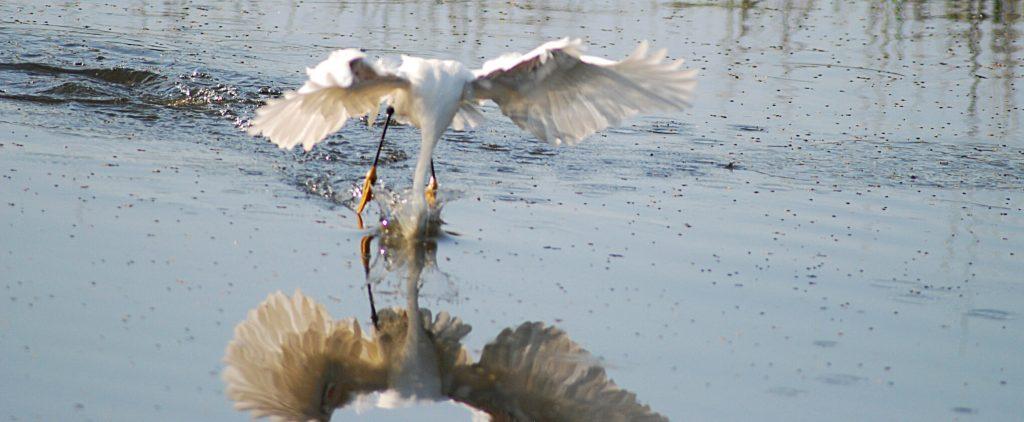 egret on seabrook island