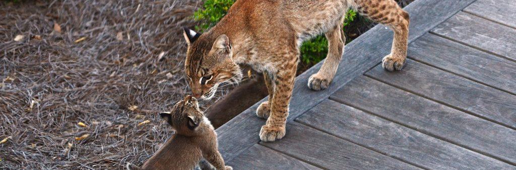 bobcats on seabrook island