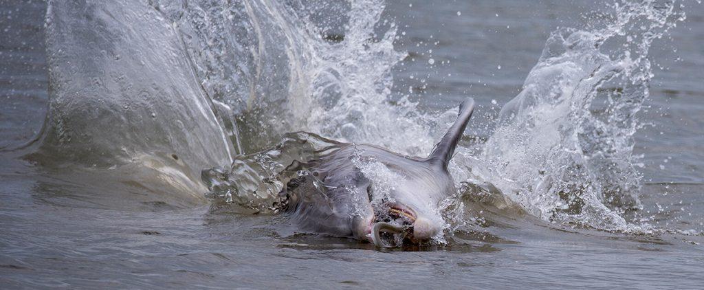 dolphins feeding on seabrook island