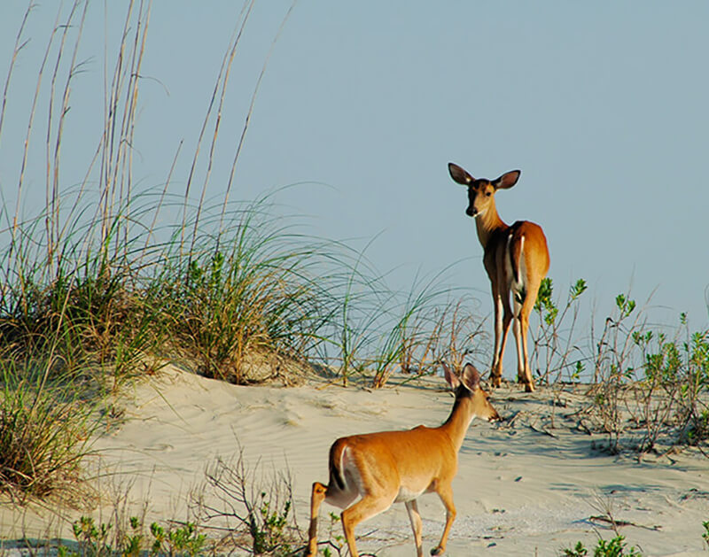 white tailed deer on the beach at seabrook island