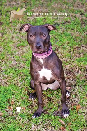 Charleston animal society dog Bella