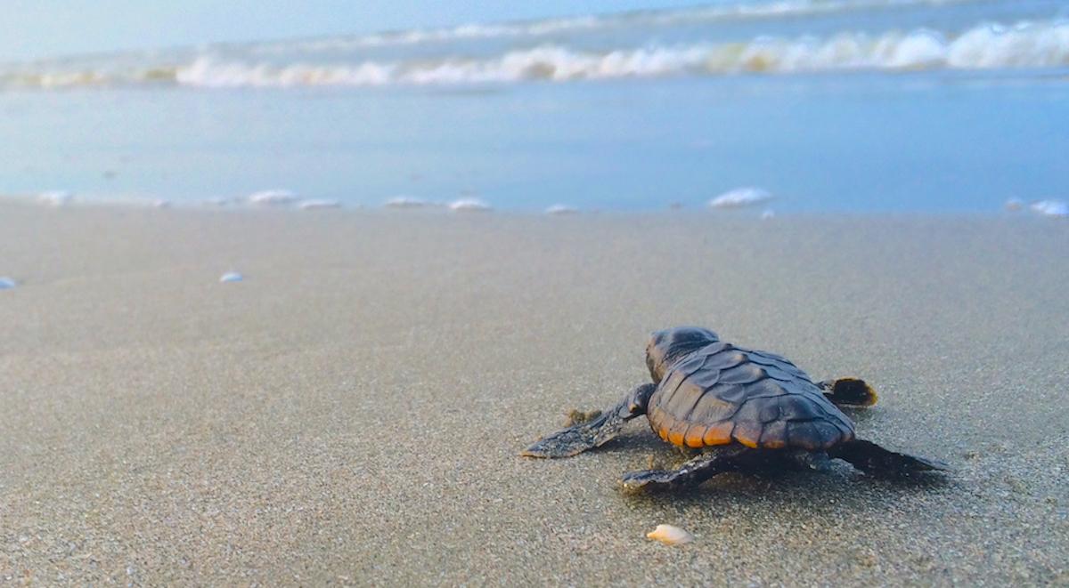 loggerhead-sea-turtle-hatchlings