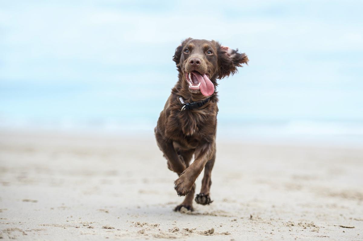 spaniel-dog-beach
