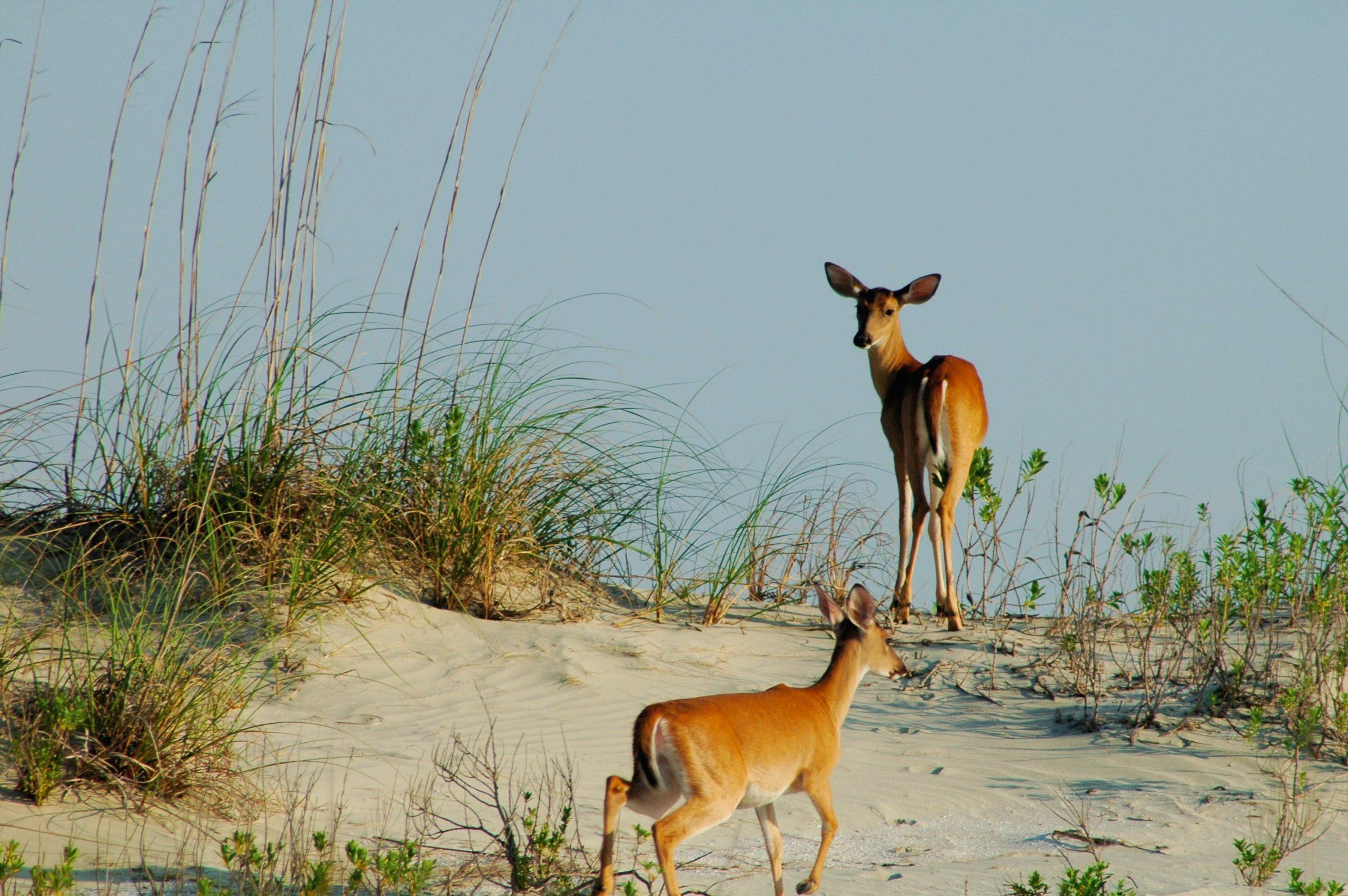 deer-on-dunes-seabrook-island