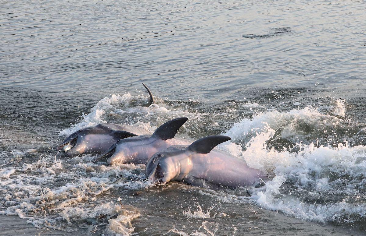 dolphins strandfeeding near kiawah island sc