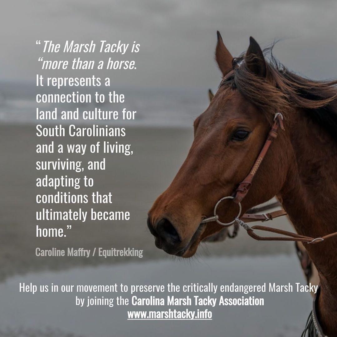 Marsh Tacky description