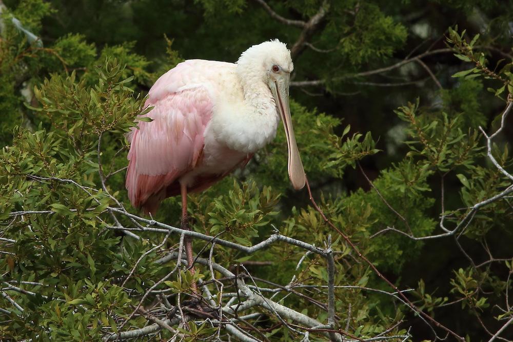 Roseate Spoonbill Seabrook Island
